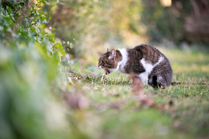 Treatment for cat vomiting blood