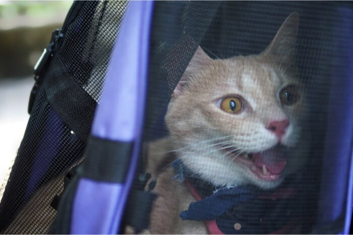 Cat panting in carrier