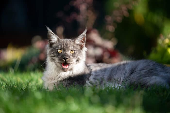 Maine Coon Panting