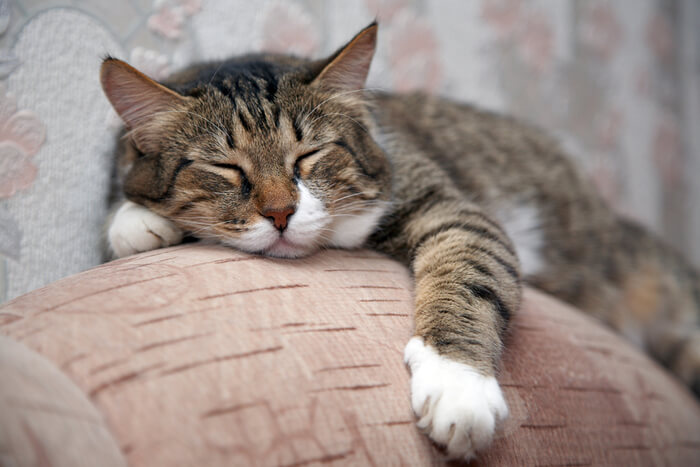 Causes of high blood pressure in cats