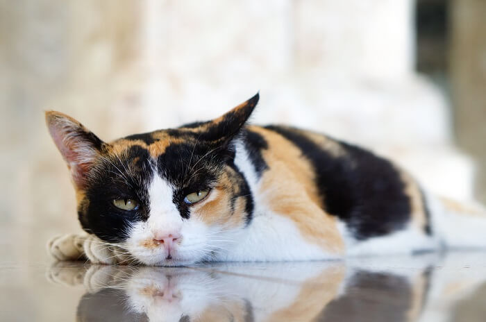 Causes of anorexia in cats