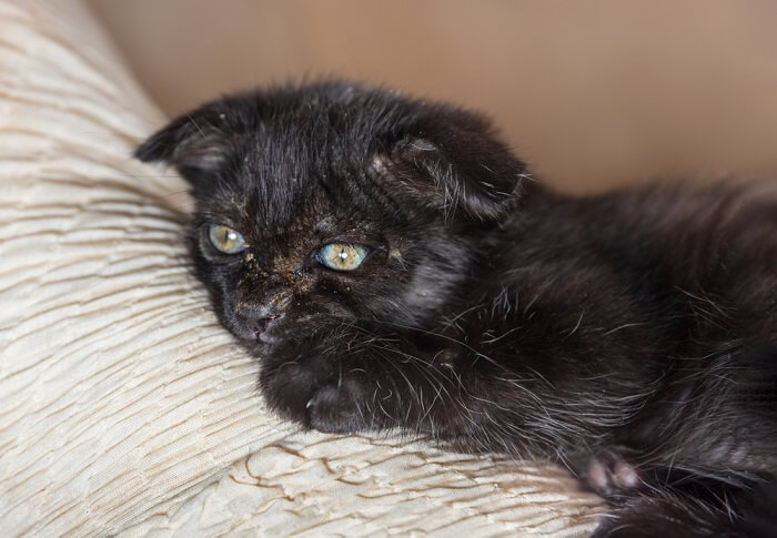Ringworm causes dandruff in cats