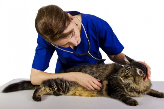 Veterinarian with large tabby cat