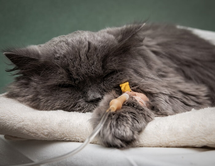 Lung Cancer in Cats Feature