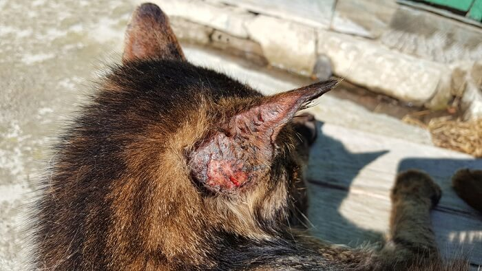 Skin cancer in cats feature