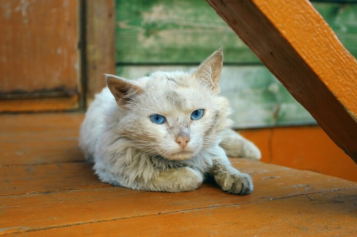Dementia in Cats Featured Image