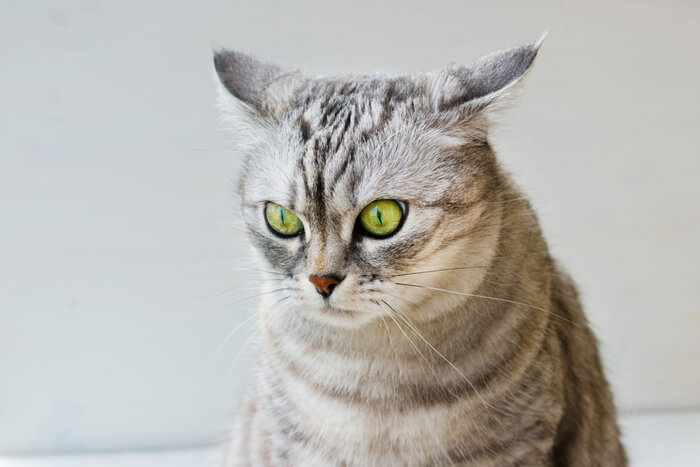 Causes of Ear Discharge in Cats