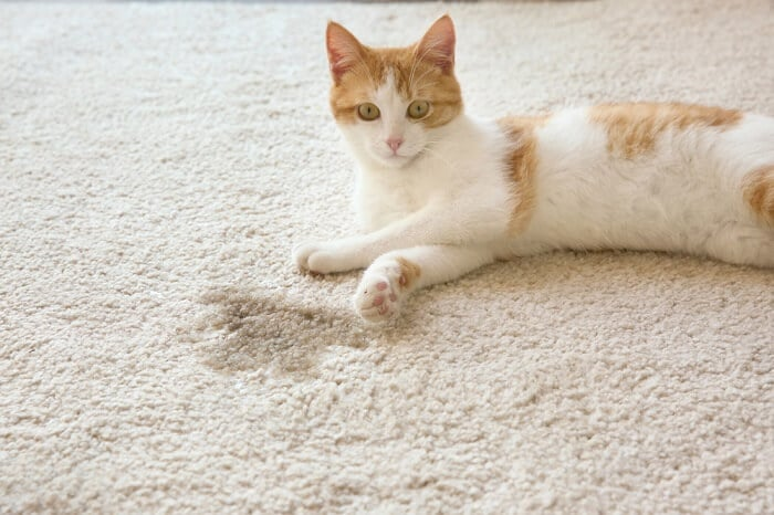 Bladder stones in cats feature
