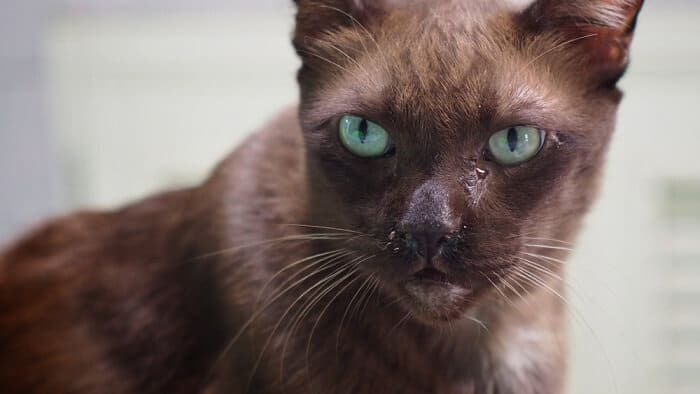 Causes of watery eyes in cats