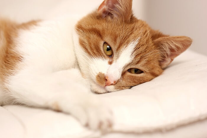 Orange and white cat lying on a white pillow; salmonella in cats featured image