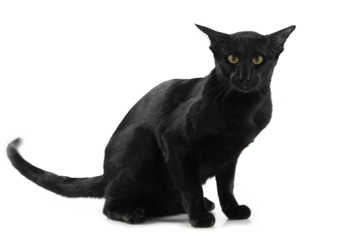 Black cat with tail swishing