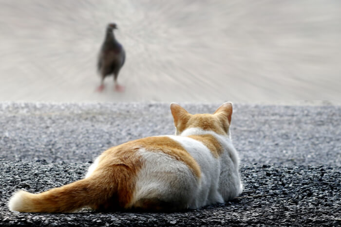 Cat stalking bird with tail pressed to the ground
