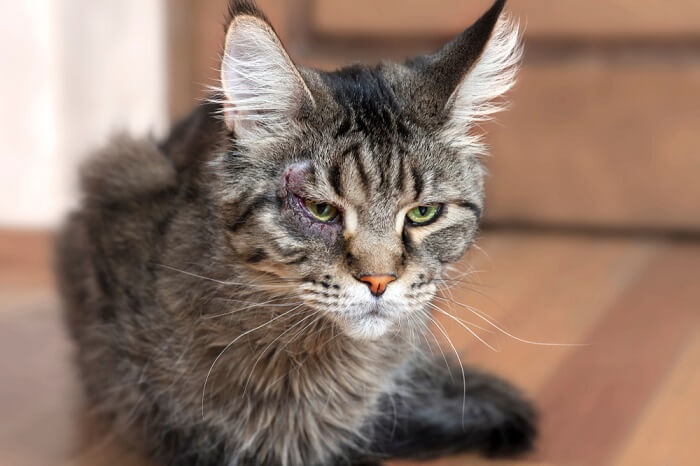 Cat with wounded right eye