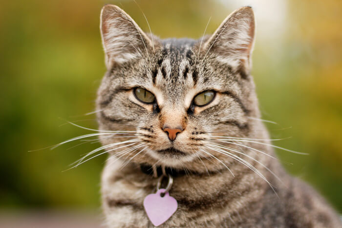 Cat wearing collar and tag