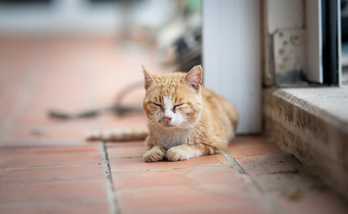 uveitis in cats feature