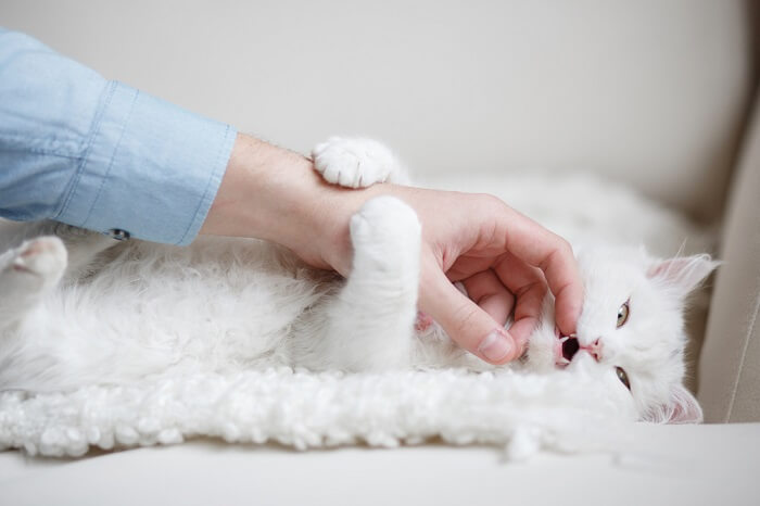 White cat lying down and playing with a person's hand