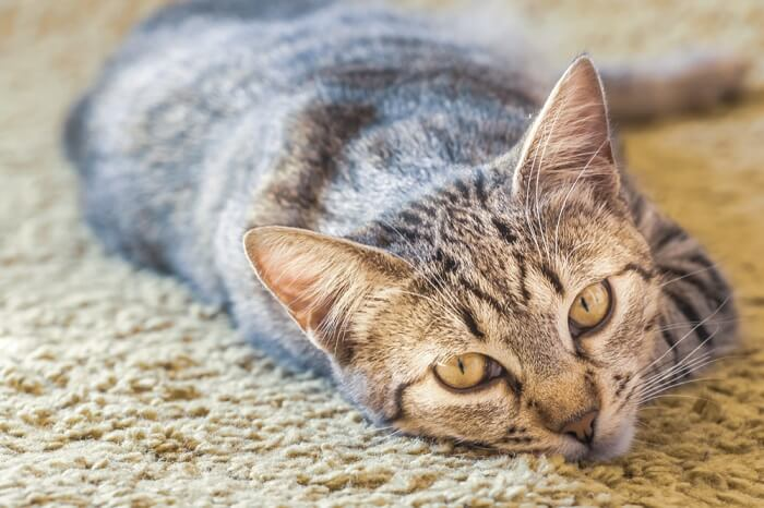 Side effects of atopica for cats