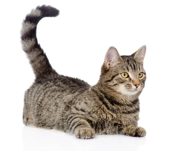 Cat tail meanings featured image