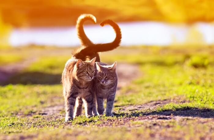 Two cats walking side by side with tails forming a heart shape