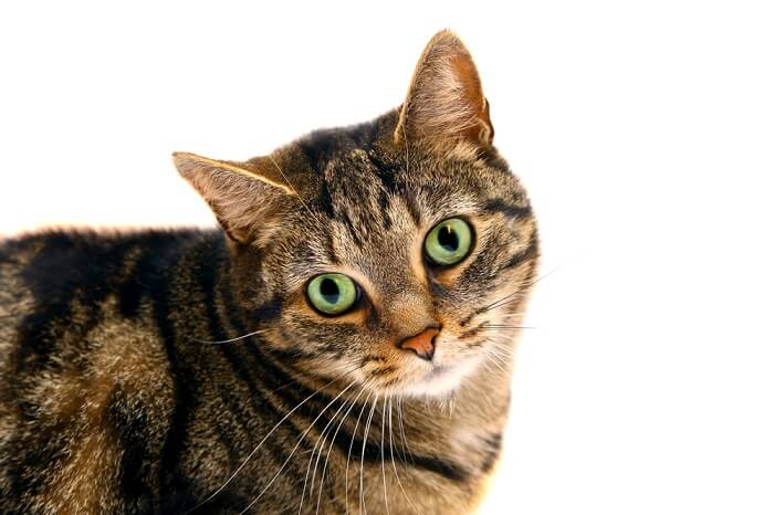 glaucoma in cats feature