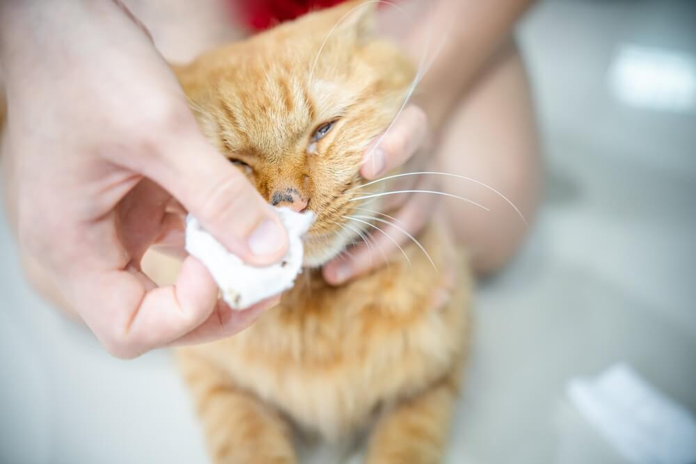 Person wiping a cat's nose