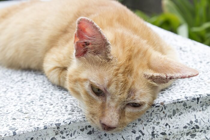 signs of scabies in cats