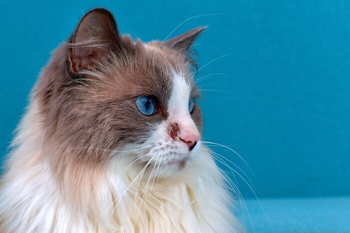 scabies in cats feature