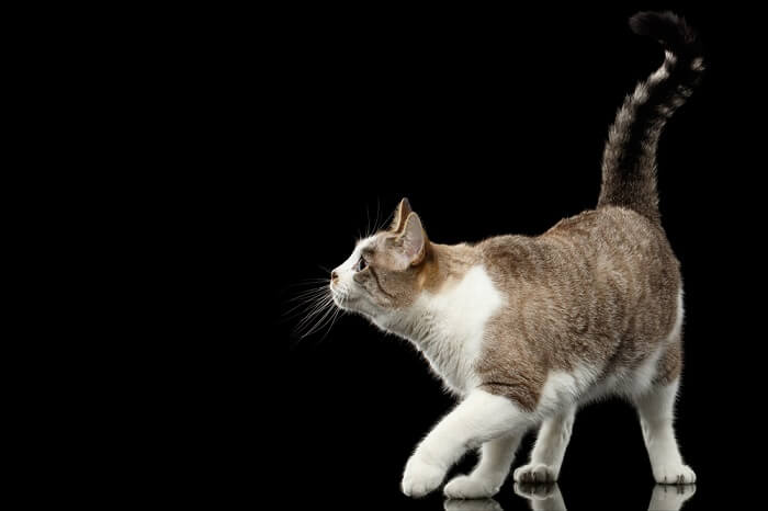 Cat on black background with tail held high