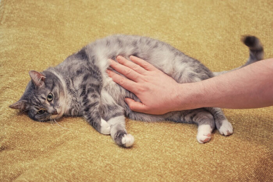 Stomach Cancer In Cats: Causes, Symptoms & Treatment