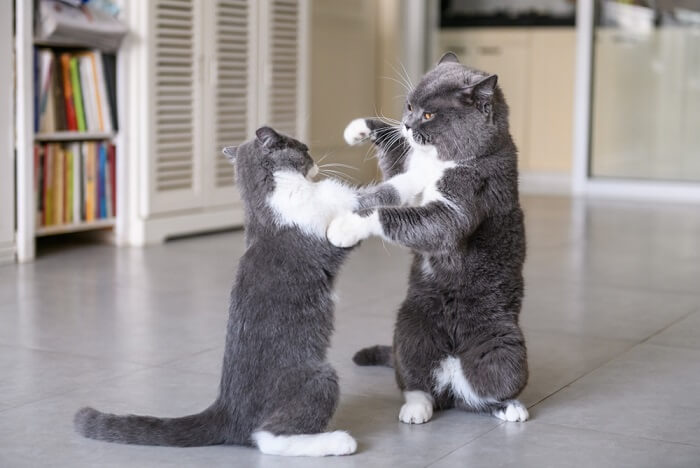 Two cats wrestling