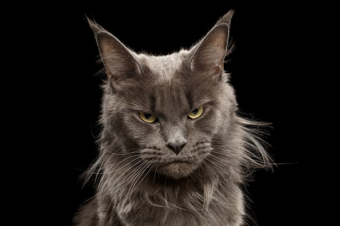 maine coon cat looking angry