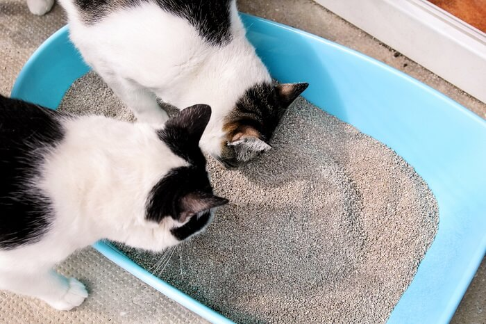 Two cats looking into litter box